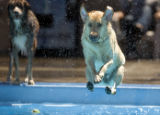 DLM2320  Four-year-old Daisy leaps into the Berkeley Park Pool to retrieve a ball thrown by her...