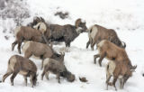 Big Horn Sheep look for food during the snowstorm near Georgetown Friday December 7,2007. The...