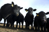 These angus steers stand out in their pen at Aristocrat Reproduction in Platteville, Colo. Monday,...