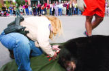 With a large crowd watching, DOW district wildlife manager Kelly Wood tags the ear of a 400+ pound...