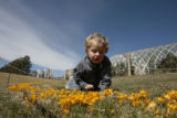 Adam Owen, 3 years old, looks for bumble bees in a bed of crocus, Wednesday afternoon, March 19,...