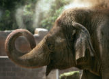 Mimi, an Asian elephant, throws dirt on herself at the Denver Zoo in Denver, Colo., on Thursday,...