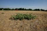 A weed stands out in the dried up grass of Cranmer Park, 3rd and Dexter, Friday morning, June 27,...