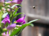 Photographer: Benjamin Collyn Krudwig, Federal Heights  The plant: Purple penstemon  The camera:...