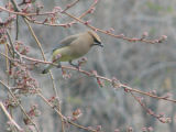 Photographer: Cathy Lester from Centennial  The plant: Waxwing on a crabapple  The camera: Canon...