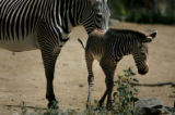 (PG03891) Elliot, a Grevy's zebra, was born six days ago (on June 27). Elliot and his mother Topaz...