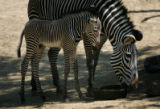 (PG03937) Elliot, a Grevy's zebra, was born six days ago (on June 27). Elliot and his mother Topaz...