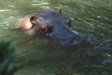Bert (cq) , father of Mahali (cq) ,swims in water  at the Denver Zoo Monday July 14,2008.A veteran...