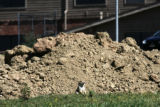 A prairie dog stands in front of a dirt pile behind The Rock of the Southwest Church, 10393 W....