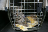 A bobcat hit by a car rests after surgery. Deer Creek Animal Hospital located at 10145 W....