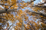 (PG8660) Aspen leaves are turning in Summit County, Colo., on Sunday, September 28, 2008. ...