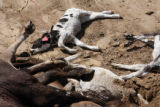 Cattle killed by Thursday's tornado lay in a pit on a farm on the outskirts of Greeley a day after...