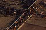 5/22/02 Greeley-Cattle are herded from their pens at ConAgra's feedlots south of Greeley.   Todd...