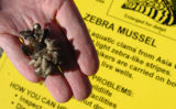 Tuesday, February 19, 2008-photo by Jerilee Bennett-These are an example of zebra mussels. These...