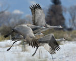 A group of sandhill cranes take off from the Monte Vista National Wildlife Reserve, March 3, 2008,...