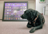 7 year old Black lab, Ramblin Rose, is a retired service dog who now spends several days a week at...