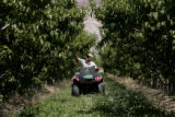 Harry Talbott (cq) checks the progress of the peaches at Talbott Farms, Tuesday afternoon, July...