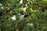 Victor Garcia (cq) picks Apricots at  Z's Orchard, Wednesday morning, July 16, 2008, Palisade....