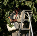 Mario Lopez (cq) picks Apricots at  Z's Orchard, Wednesday morning, July 16, 2008, Palisade. Heavy...