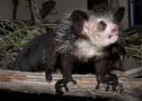 RARE ENDANGERED PRIMATE, AYE-AYE, COMES TO DENVER ZOO - Visitors Can See the Pair of Unique...