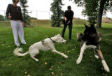 Sally (cq),left , a Saluki dog from Kuwait, is held by Sue Egger (cq) while playing with another...