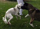 Sally (cq),left , a Saluki dog from Kuwait ,plays with another dog at the Colorado State...