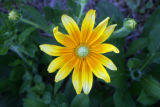 Joan Kinney grows rudbeckia for her bouquets at the her home in Fort Collins, Colo. Wednesday,...