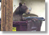 Bear in dumpster. Michael Seraphin/Colorado DOW