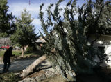 [Lakewood, CO - Shot on: 12/20/04]  Patricia Bender walks past a spruce tree that was blown by...