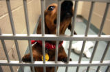 [DENVER*, CO - Shot on: 12/21/04] A three and half year old male Dachshund waits to be taken home...