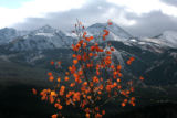 A single change Aspen tree stands against the Ten Mile Range and Breckenridge Ski area, Monday...