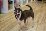 Bob the Chihuahua of store owner, Alex E'aton greets customers at the door of Zen Dog on Sept. 16,...