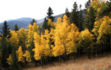 Aspen.   Beaver Trail in Golden Gate Canyon.   Fall color.  Photo by Dr. John P. Moyer.