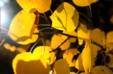 (PG9152) Aspen leaves are turning along the front range in Colorado on Monday, September 29,...