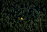 (PG9463) A bit of color sticks out among evergreens in Clear Creek county. Aspen leaves are...