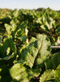 Beet greens, still wet with the morning dew, grows at Cure Organic Farms in Boulder.  Students...