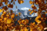 Snow covers the top of mountains near Mount Evans, seen through Aspens trees in full color, Monday...