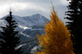 A aspen tree stands against the snow on mountains near Breckenridge, Monday afternoon, October 4,...