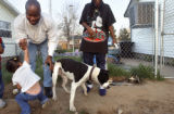 After winning a court challenge in May of 2005, the city of Denver began confiscating pitbulls...