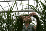 Dr. Jan Leach, Professor of Plant Pathology at CSU,  examines genetically engineered rice that is...