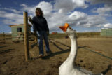 DM0530  Cheech the goose follows Jay Davis as he and his wife Robin tend to the animals at their...