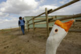 DM0541  Cheech the goose is one of many animals that live on Robin and Jay Davis' equestrian...