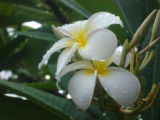 Plumeria flower.  Dig. My wife and I celebrated our 25th anniversary in Hawaii, with my Sony...
