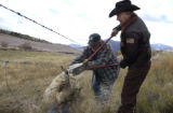 (CREEDE, Colo, October 19, 2004) Sheriff Phil Leggitt uses a bolt cutters to release a deer hung...