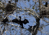 A Double-crested Cormorant holds its wings open to dry in a tree at Duck Lake May 3, 2005 in City...