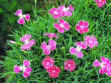 "SH05E083YARDSMART May 9, 2005 _ Highly graphic spot patterns like Dianthus ""Spotty"" have..."