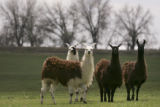 Adams County resident Mike Lloyd's(cq) llamas on his property on April 25, 2005.  He and his...