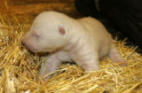 Denver, CO (Dec. 8, 2004) - Denver Zoo veterinarians gave two newborn polar bear cubs a clean bill...