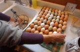 [(Durango, CO, Shot on: 11/23/04)] Julie Ott hand washes a daily harvest of eggs, which is much...