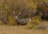 (Pinedale, Wyoming., October 4, 2004) A buck Mule Deer near the Green River in  Pinedale Wyoming ...